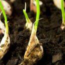 Как выращивать чеснок: полезные советы и рекомендации